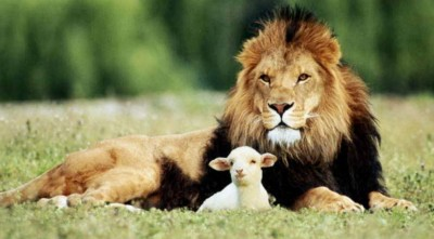 Through The Grace Of God A Lion Adopts A Baby Calf (Beautiful Story!)